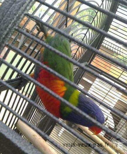 oiseau loriquet avec cage