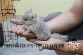Bébé chinchilla beige hétérozygote