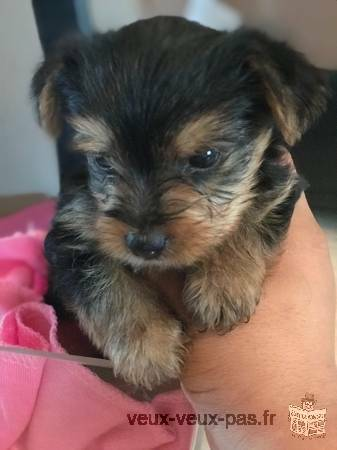 Beaux chiots Yorkshire Terrier