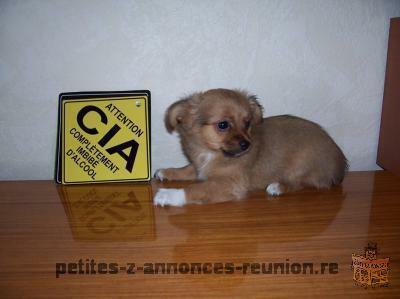 Chiot Chihuahua femelle poil court de 3 mois