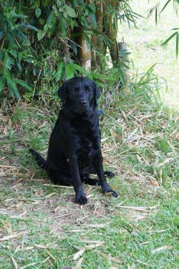 Magnifique Labrador mâle confirmé pour saillie