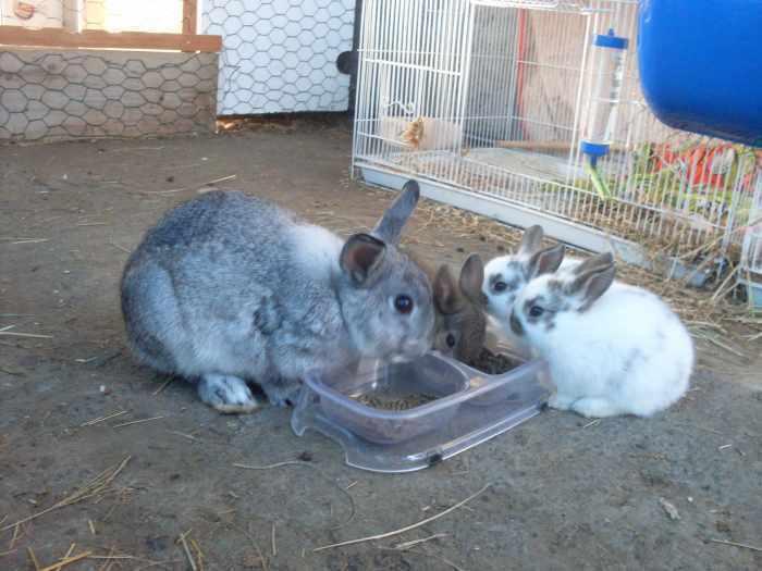 Vends 3 bébés lapins nains.