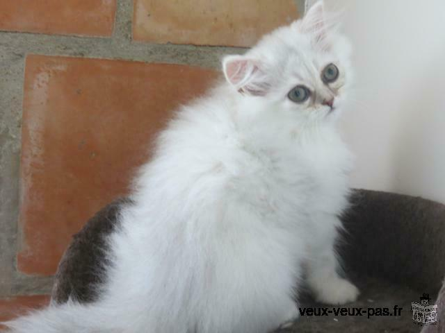 Adorable chaton de type persan chinchilla