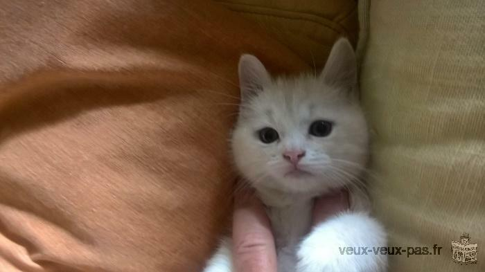 Chaton d'apparence british non LOOF